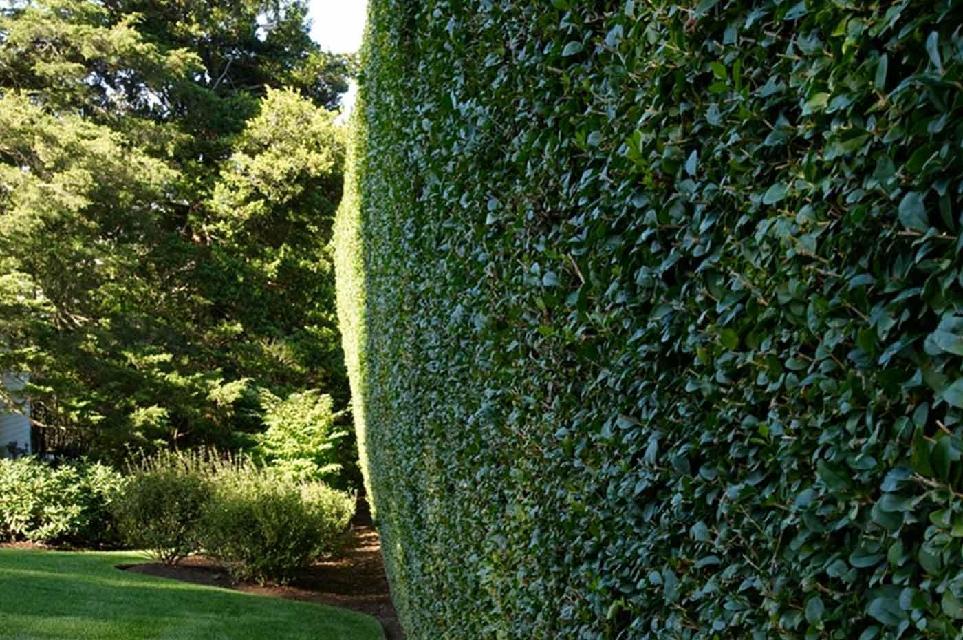privacy evergreen